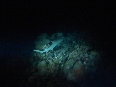 Shark at Night