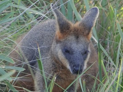 Wallaby at Byron's light house