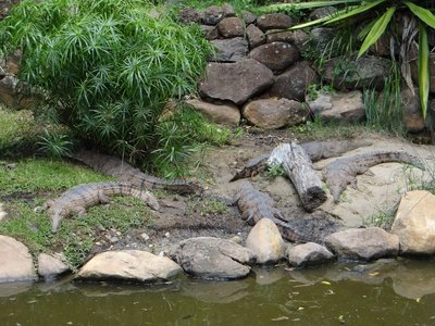 Fresh Water Crocodiles