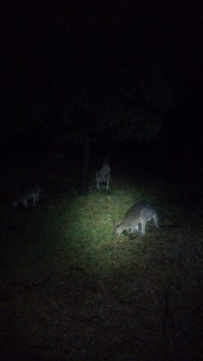 Kangaroos at night