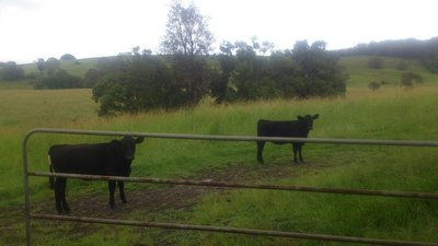 Cattle around the house