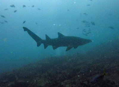 Grey nurse shark by Lindsay