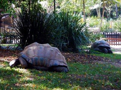 Aldabra_Giant_Tortoise.jpg