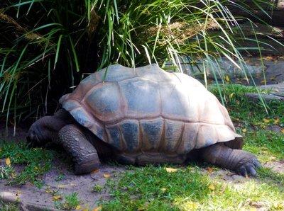 Aldabra_Giant_Tortoise1.jpg