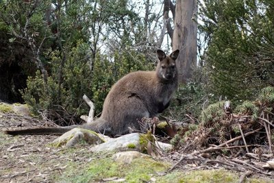 Bennetts_Wallaby__Medium_.jpg