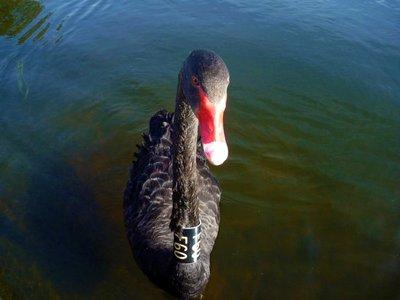 Black_Swan_front.jpg
