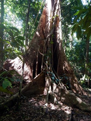 Buttress_Roots2.jpg