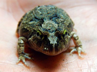 Creeking_Nursery_Frog.jpg