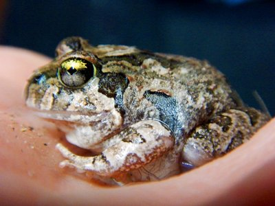 Creeking_Nursery_Frog2.jpg