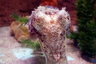 Cuttlefish_front.jpg