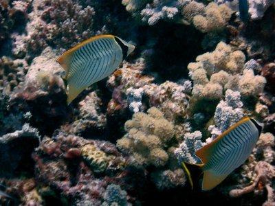 Damsel_Fish.jpg