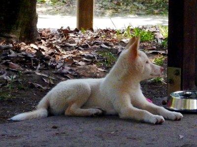 Dingo_cub_male.jpg
