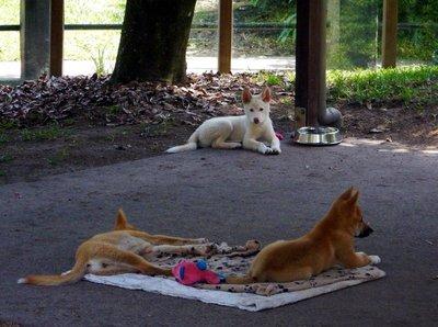 Dingo_cubs.jpg