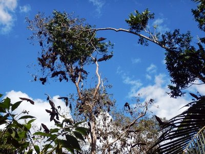 Flying Foxes6