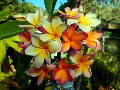 Frangipani_yellows1.jpg