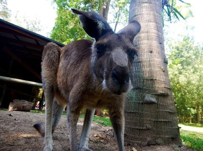 Grey_Kangaroo2.jpg