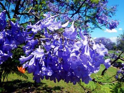 Jacaranda_Tree_flowers.jpg