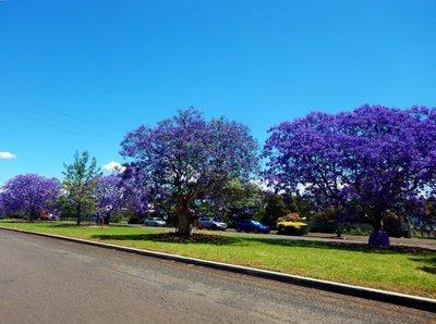 Jacaranda_Trees1.jpg