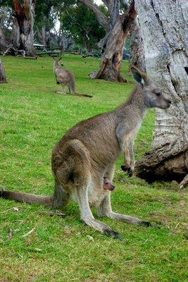 Kangaroo3__Medium_.jpg