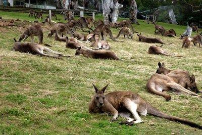 Kangaroo7__Medium_.jpg