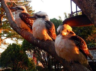 Kookaburra4