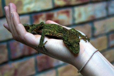 Leaf-tailed gecko hand