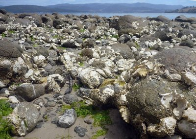 Oysters_at_Dennes_Point.jpg