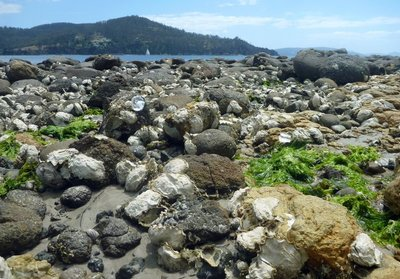 Oysters_at_Dennes_Point1.jpg
