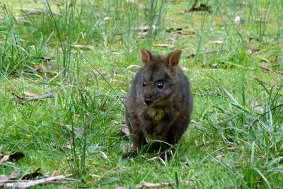 Pademelon__Medium_.jpg