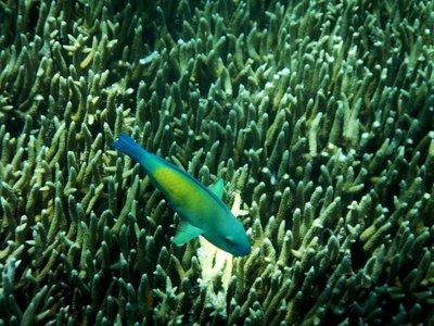 Parrot_Fish4.jpg