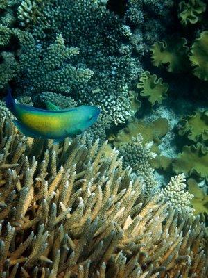 Parrot_Fish7.jpg