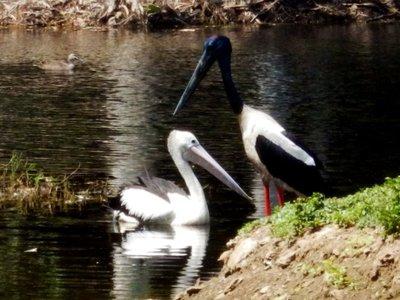 Pelican___Jabiru___duck.jpg