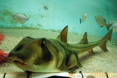 Port_Jackson_Shark.jpg
