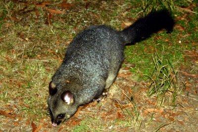 Possum1.jpg