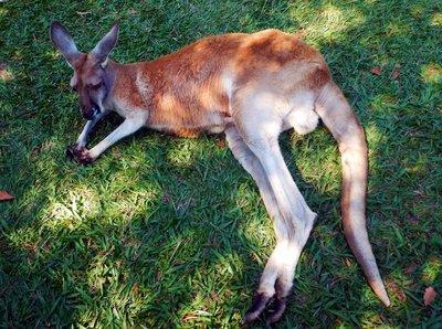 Red_Kangaroo2.jpg