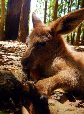 Red_Kangaroo_Joey1.jpg