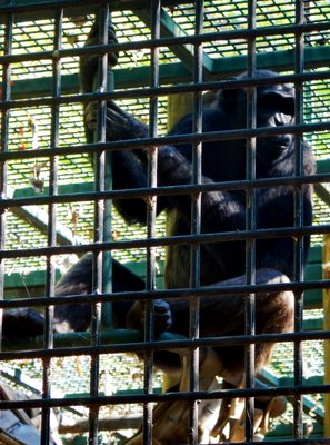 Rockhampton Botanicc Gardens chimp