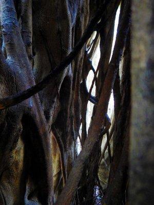 Strangler Fig inside2