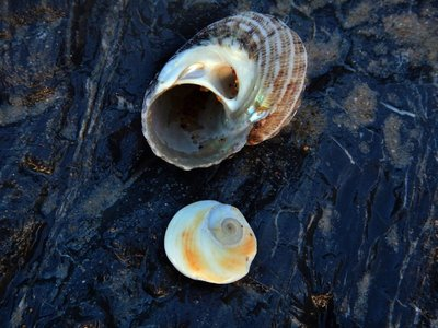 Turban Shell Trap Door2