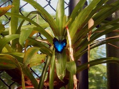 Ulysses_Butterfly1.jpg