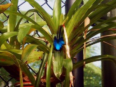 Ulysses_Butterfly2.jpg