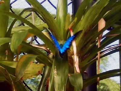 Ulysses_Butterfly3.jpg