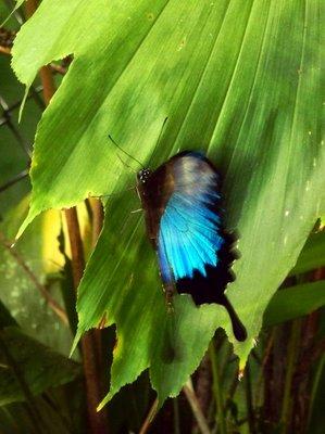 Ulysses_Butterfly4.jpg