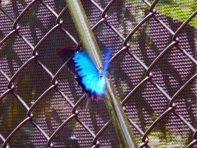 Ulysses_Butterfly6.jpg