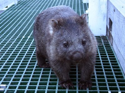 Wombat_on_bridge.jpg