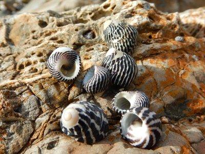 Zebra Topped Snail