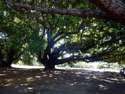 bech_almond_tree.jpg