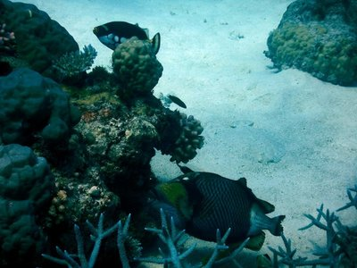 blue-finned_trigger_fish.jpg