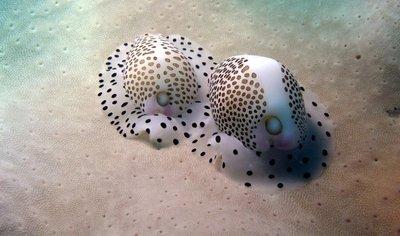 cowrie-egg-shell