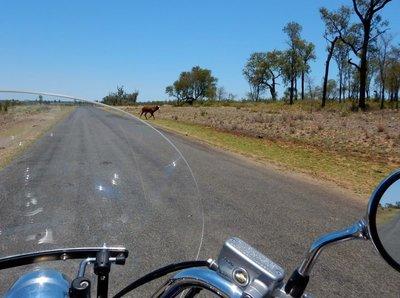 cows_crossing.jpg
